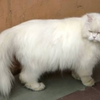 ร้านเหมียวฟูฟูเพ็ทช็อป ของกินของใช้หมาแมว ทรายแมว วิตามินหมาแมว