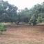 สวนลำไย 9 ไร่ เชียงใหม่ &#x2605 orchard 9 rai Chiang mai &#x2605 thumbnail 8