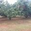 สวนลำไย 9 ไร่ เชียงใหม่ &#x2605 orchard 9 rai Chiang mai &#x2605 thumbnail 7