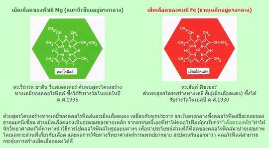 chlorophyll unicity กับ เม็ดเลือดแดง